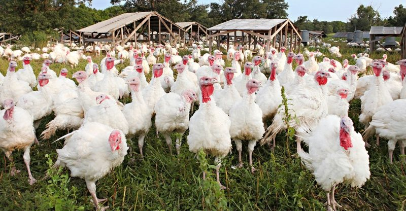 :-the-pandemic-is-bringing-smaller-turkeys-back-to-thanksgiving-tables-after-a-long-exile